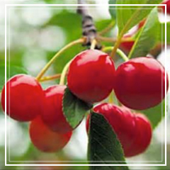 Tart or Sour Cherries