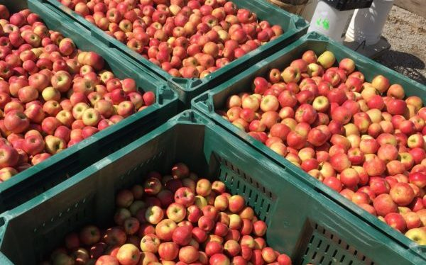 Honeycrisp Harvest